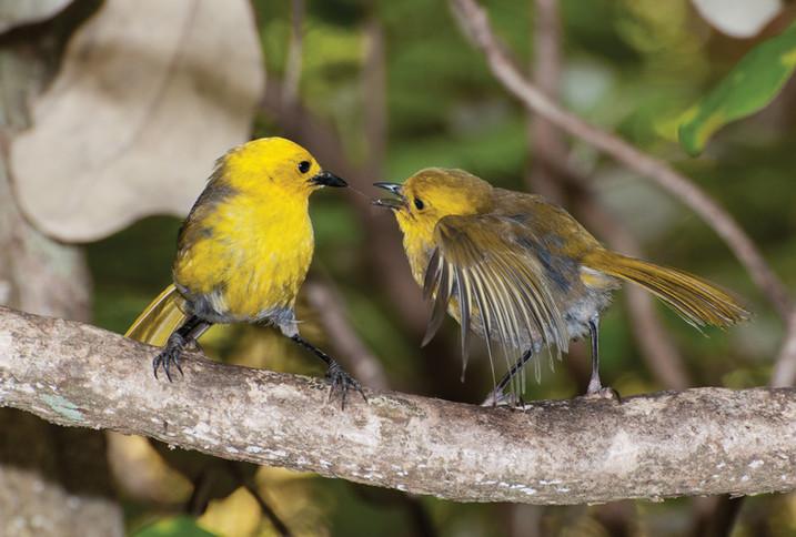 Yellowhead (mohua)