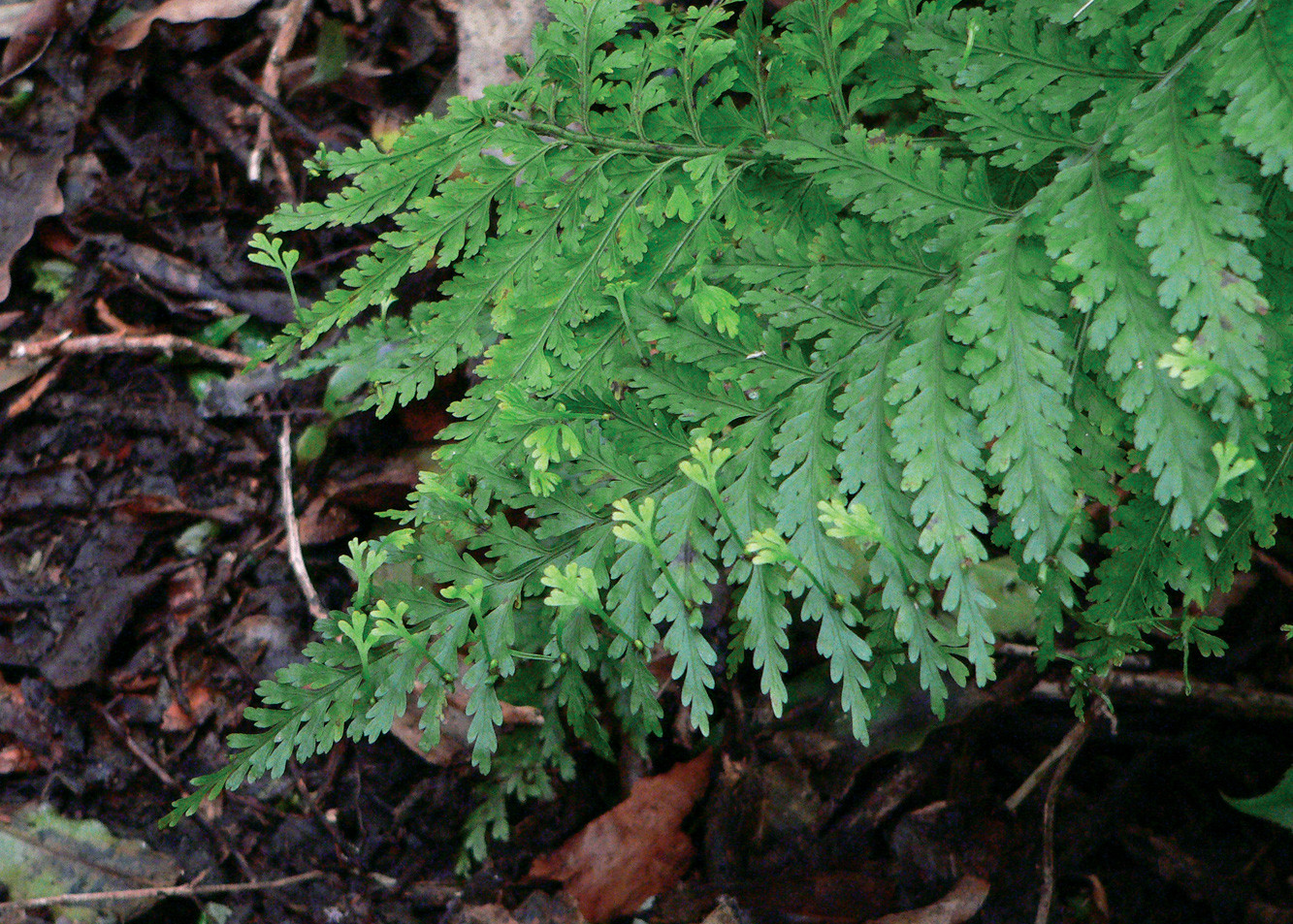 Hen and Chicken Fern