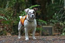 Gadget the rodent detector dog, photo by Matt Jones