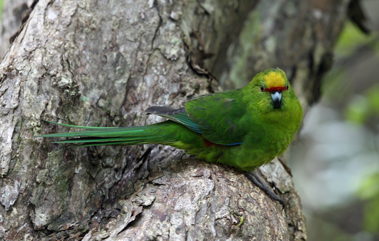 Yellow-crowned Parakeet (kākāriki)