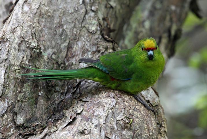 Yellow-crowned Parakeet (kākāriki)