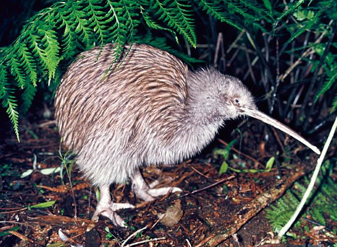 Stewart Island Brown Kiwi (tokoeka)