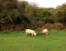 brockenhurst pigs.jpg