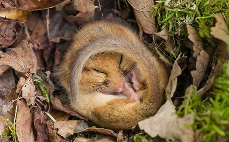 Alamy-Common-Dormouse-large.jpg