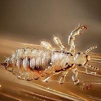 Nitpro I Head Lice