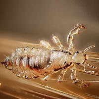 Head Lice: let's start at the beginning.