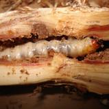 Larva-1.jpg