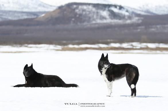 Black-Taiga-dogs.jpg
