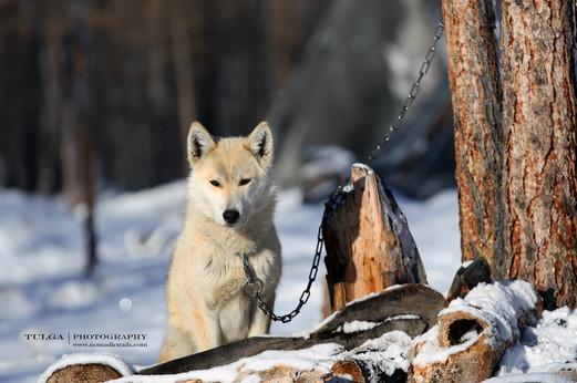 White-Laika-dog.jpg