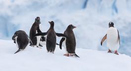 Gentoo penguins - Manchots papous