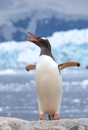 Gentoo penguin - Manchot papou