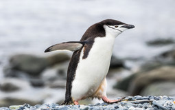 Chinstrap penguin - Manchot à jugulaire