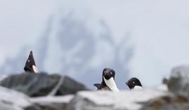 Adélie penguins - Manchots Adélie