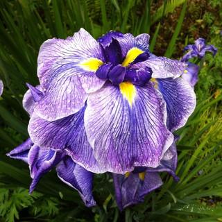 Japanese iris.jpg
