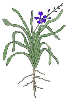 orquideavanda.jpg