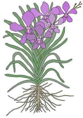 orquideabanda.jpg