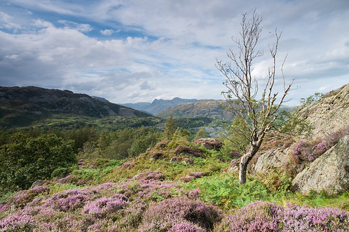 SUMMER HEATHER, HOLME FELL