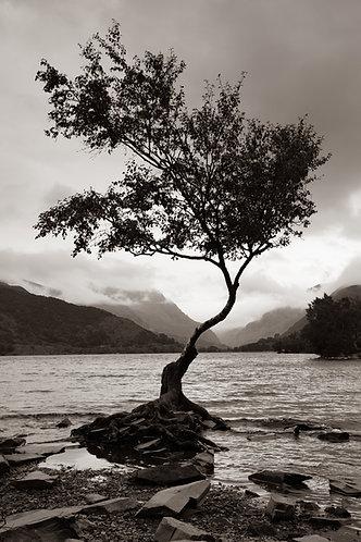 LONE TREE AT LLYN PADARN