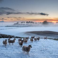 WINTER SHEEP SUNSET