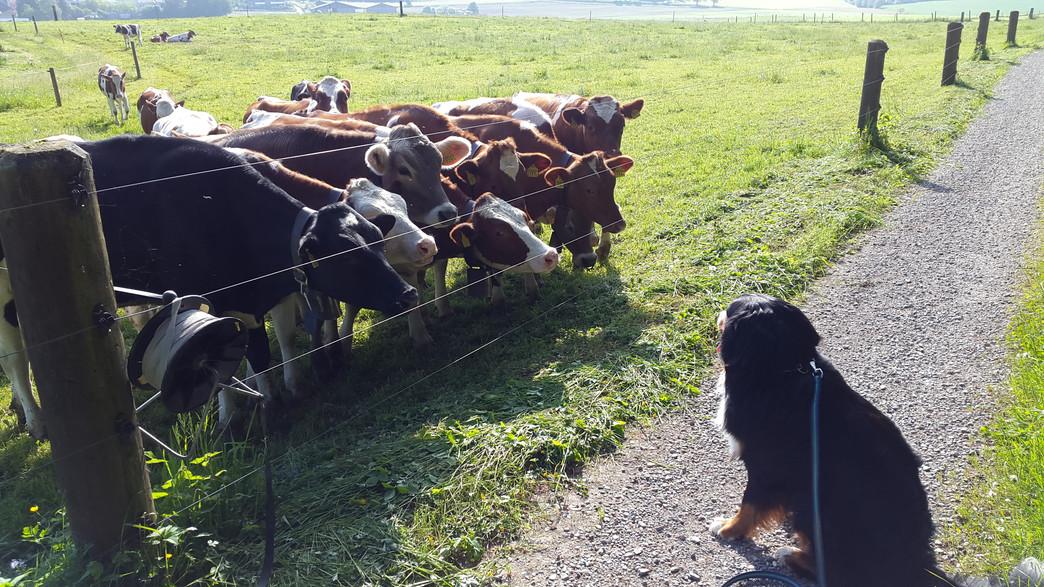 Hund mit Kühe