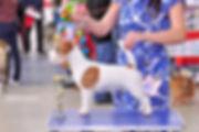 питомник Порт Фортис, щенки джек рассел терьера