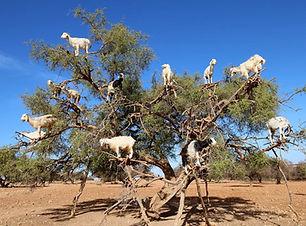 goats morocco