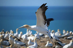 New Zealand - Gannet