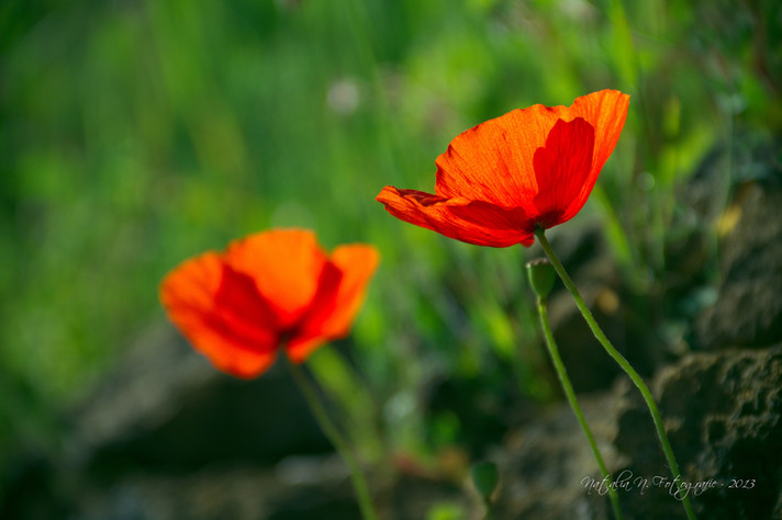 Twin poppies