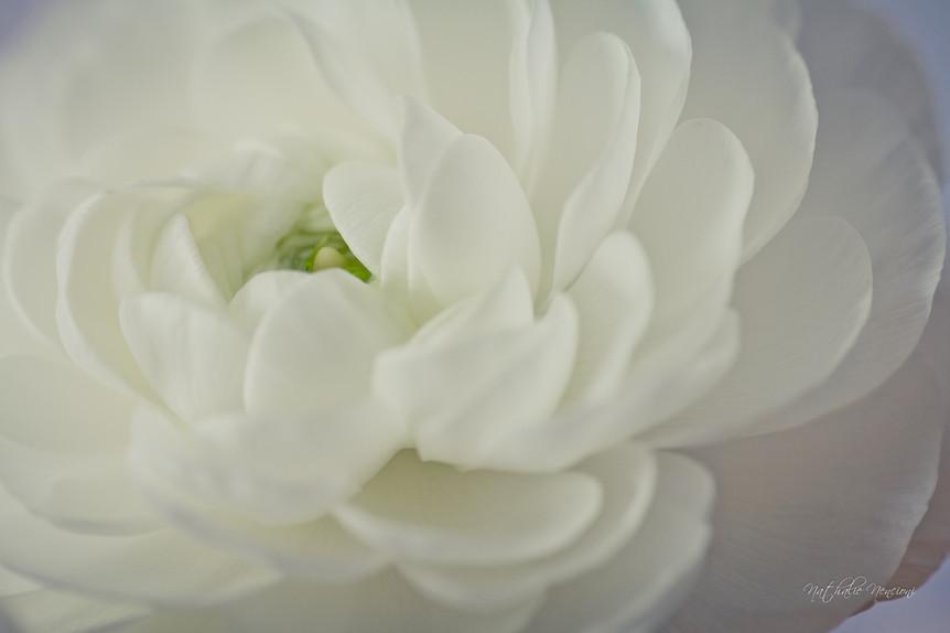 Renoncule blanche - 13112015-IMG_7561