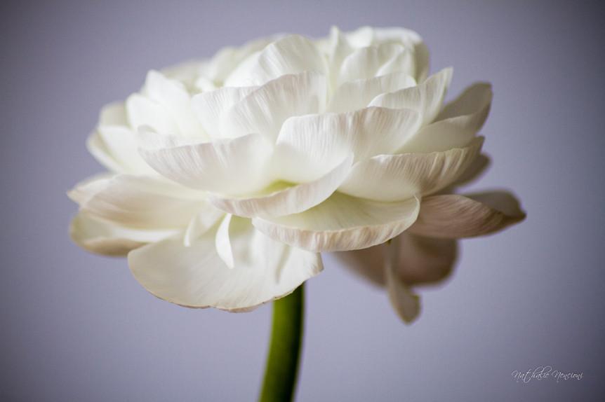 Renoncule blanche  - 11112015-IMG_7521