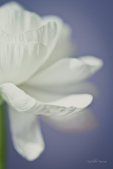 Renoncule blanche - 10112015-IMG_7435