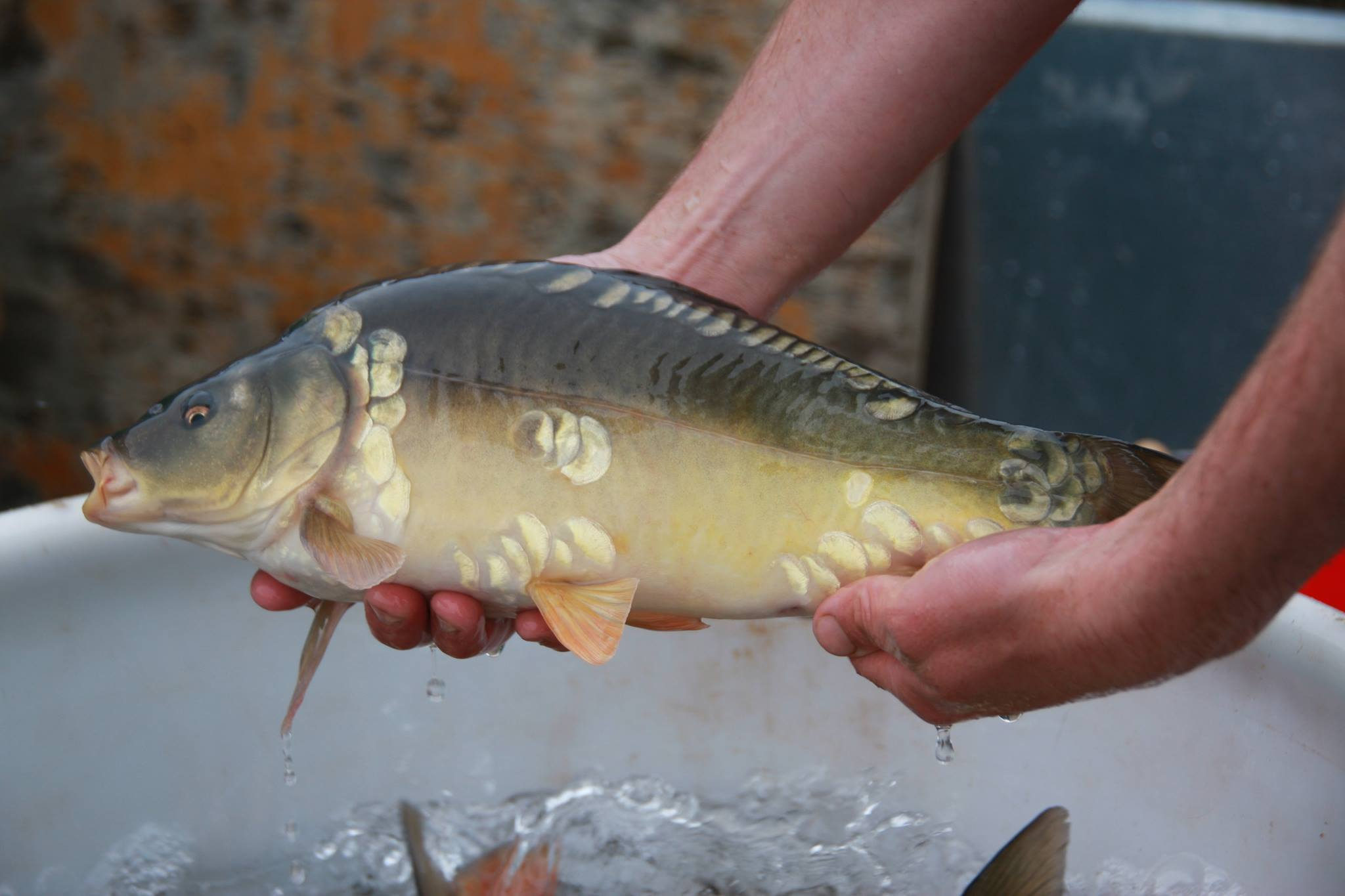 Mirror Carp stocked at 2lb+