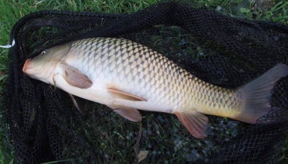 Common carp caught 2017