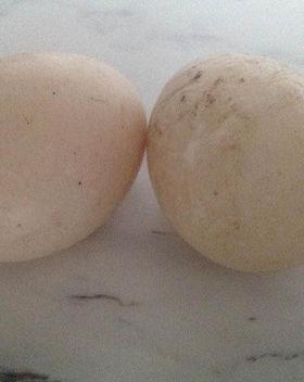 duck eggs pic.jpg