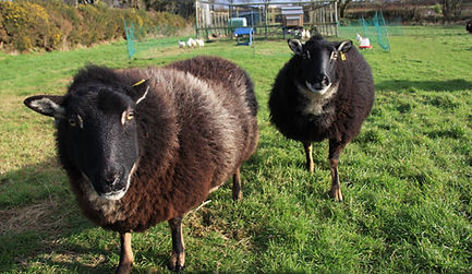 Our tame Torwen Sheep