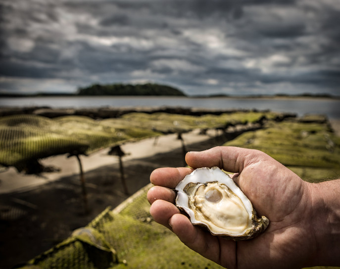 Irish Oysters freah & straight out of the sea