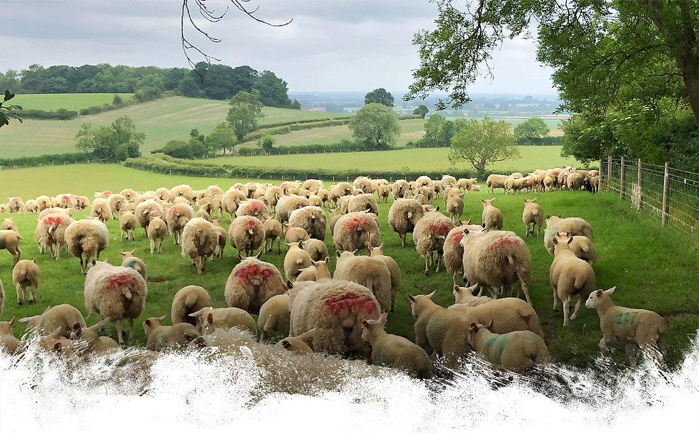 Ewes lambs view2.jpg