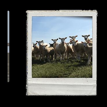 Sheep Polaroid.png