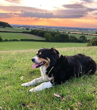 Sheep dog and sunset.jpg