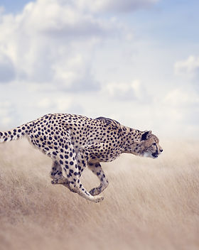 Cheetah  Running in The Grassland.jpg