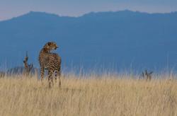 cheetah4.jpg