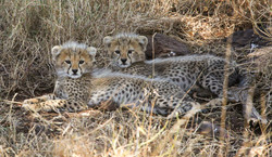 cheetah cubs2.jpg