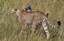 mother.cub.jpg
