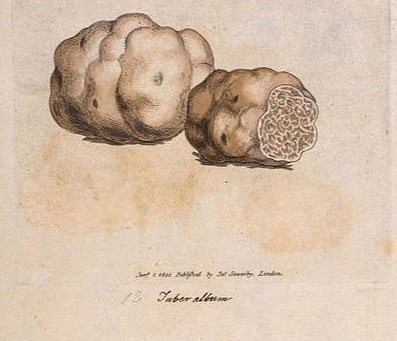 """A história da Trufa e o mito do azeite """"trufado"""""""