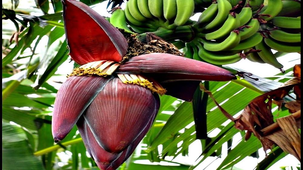Coração da Bananeira | Foto: Youtube Naturais - Cura Natural