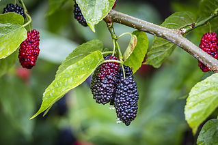 The fruit of black mulberry - mulberry t