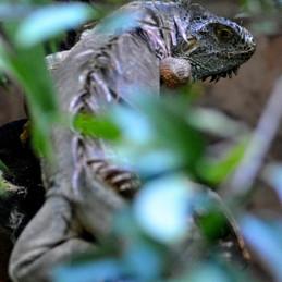 Puerto Morelos, Mexico. Crocodile for Dinner - Croco Cun Zoo.