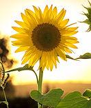 sunflower-1127174_1920_edited.jpg