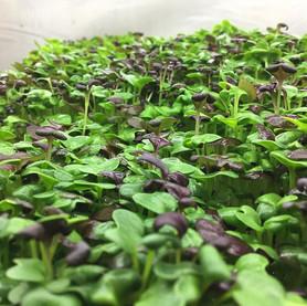 microgreens & how to use them