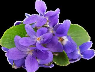 La Violetta di Parma